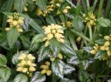 Yellow Lamium