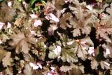 Huechera with Cherry Blossom Petals
