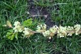 Elm Tree Blossoms & Seeds