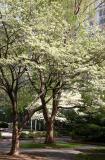 Dogwood  Tree Blossoms