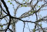 Cercis Tree Blossoms