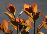Smoke Tree New Foliage