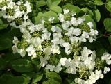 Viburnum Blossoms