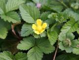 Duchesnea indica 'Indian Strawberry'