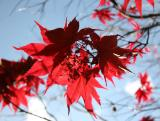 Japanese Red Leafed Maple