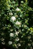 Bridal Veil Blossoms