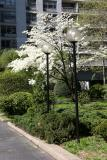 Dogwood Tree in a Garden View