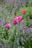 Tulips & Salvia