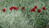 Red Tulips and Summer Grass