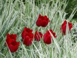 Red Tulips and Grass