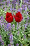 Tulips and Salvia