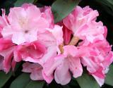 Rhododendron - NYU Law School Garden