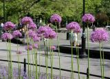 Allium Flower Garden