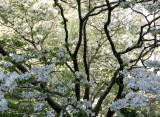 Dogwood & Willow Trees