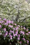 Rhododendron & Dogwood