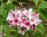 Ants in Weigela Blossoms - NYU Medical Center