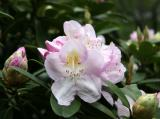 Rhododendron after Rain