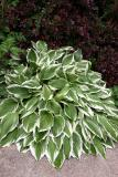 Hosta & Berberis