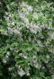 Chionanthus virginicus 'Fringe Tree'