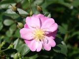 Lavender Dream Rose