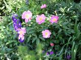 Delphinium & Peonies