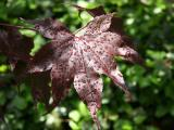 Japanese Red Maple Foliage