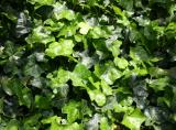 Ivy or Hedera