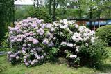 Rhododendron Bushs