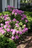 Rhododendrons -  NYU Washington Square Village Gardens