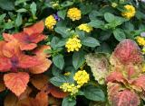 Lantana & Coleus Flower Box