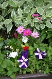 Petunias, Asters and Foliage Flower Box