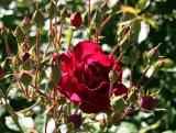 Rose in a Basket of Buds