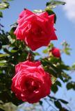 Senior Prom Roses