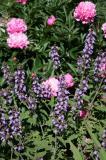 Sage & Peony Blossoms