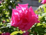 Zephrine Drouhin Rose