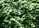 Violet Ground Cover Foliage