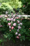 Rose Bush by the Performance Stage