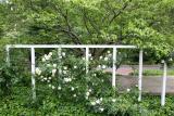 Rose Trellis & Dogwood Tree