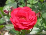 Europeana Roses