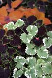 Coleus Arrangement