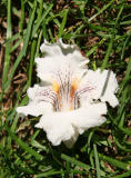 Fallen Catalpa Tree Blossom