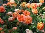 Roses 2006