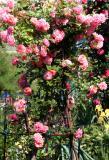 Dream Weaver Roses