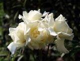 JFK Roses