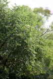 Hawthorne & Scholar Trees