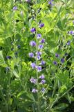 Baptisia or False Indigo