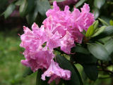 Rhododendron after the Rain