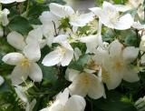 Mock Orange Blossoms