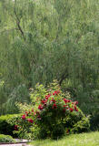 Red Rose Bush & a Willow Tree