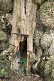 Black Locust Tree